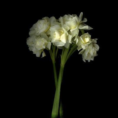 Daffodils-Magda Indigo-Photographic Print