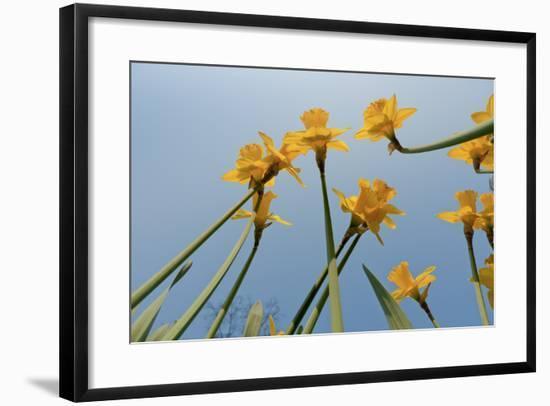 Daffodils-Charles Bowman-Framed Photographic Print