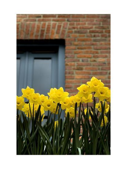Daffodils-John Gusky-Photographic Print