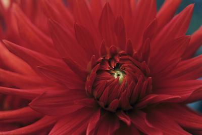 https://imgc.artprintimages.com/img/print/dahlia-bergers-record-flower_u-l-pzewl20.jpg?p=0