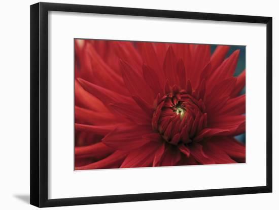 Dahlia 'Bergers Record' Flower-Maxine Adcock-Framed Photographic Print