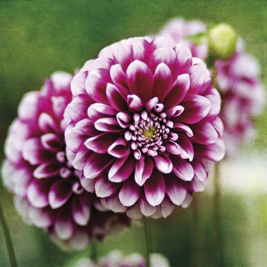 Dahlia Bloom-Pete Kelly-Giclee Print