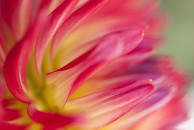 Dahlia Close-up I-Beth Wold-Photographic Print