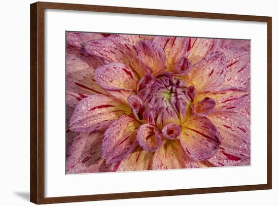 Dahlia close Up-Russell Burden-Framed Photographic Print