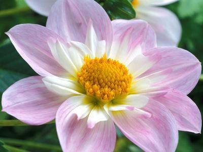 https://imgc.artprintimages.com/img/print/dahlia-collerette-teesbrooke-audrey-close-up-of-flower-head_u-l-q10r12n0.jpg?p=0