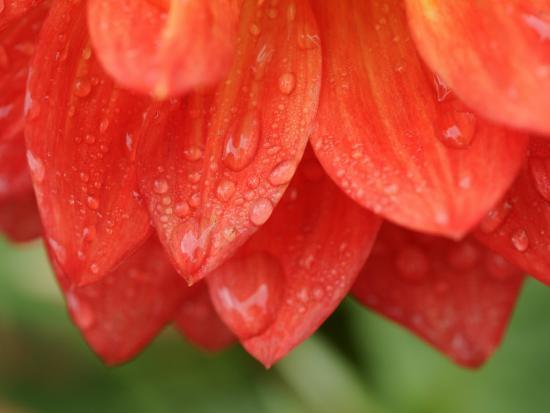 Dahlia Cultivar Abstract Close Up of Petals, UK-Gary Smith-Photographic Print