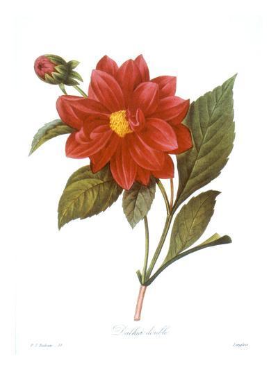 Dahlia (Dahlia Pinnata)--Giclee Print