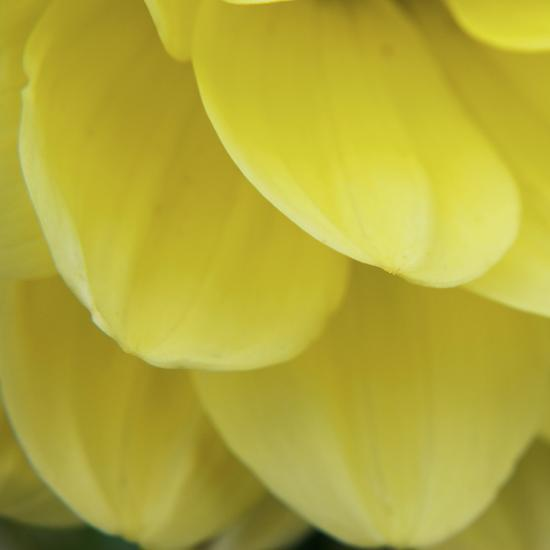 Dahlia Delicacy-Karen Ussery-Premium Photographic Print