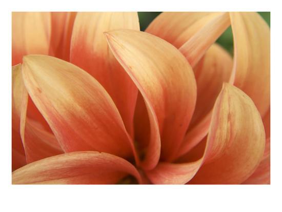 Dahlia Delovely-Karen Ussery-Premium Photographic Print