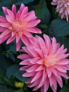 Dahlia Detail, Bellevue Botanical Garden, Washington, USA