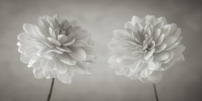 https://imgc.artprintimages.com/img/print/dahlia-duet_u-l-f93rsy0.jpg?p=0