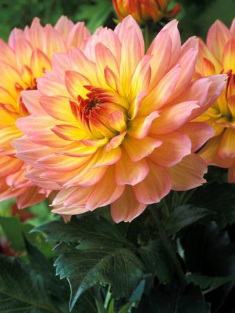 https://imgc.artprintimages.com/img/print/dahlia-gallery-leonardo-close-up-of-flower-heads_u-l-q10rft50.jpg?p=0