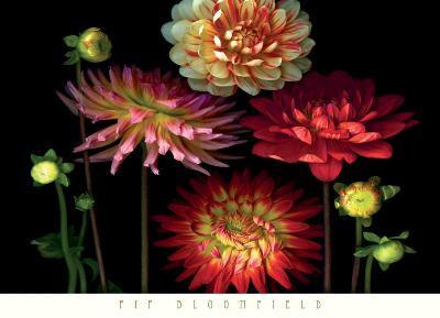 Dahlia Garden-Pip Bloomfield-Art Print