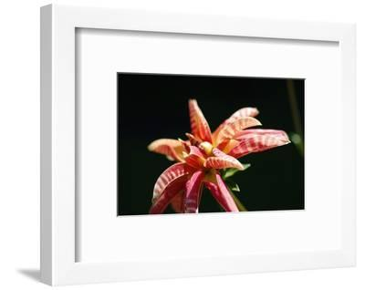 Dahlia 'Giraffe'-Angela Marsh-Framed Photographic Print