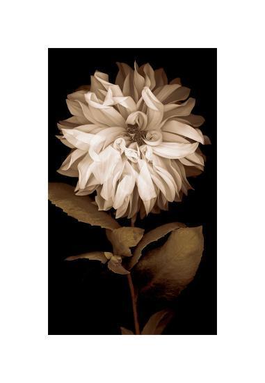 Dahlia I-Caroline Kelly-Giclee Print