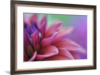 Dahlia Petals Pink Purple-Cora Niele-Framed Giclee Print
