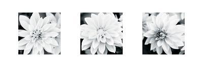 https://imgc.artprintimages.com/img/print/dahlia-triptych_u-l-f5jr060.jpg?p=0