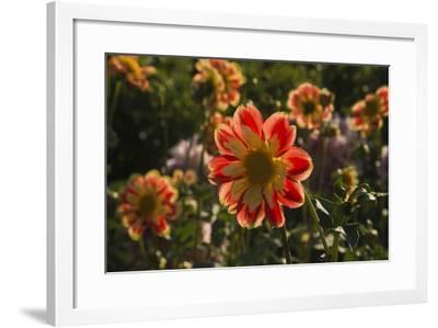 Dahlias, Dahlia Farm, Canby, Oregon, USA-Michel Hersen-Framed Photographic Print