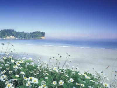 Daisies along Crescent Beach, Olympic National Park, Washington, USA-Adam Jones-Photographic Print