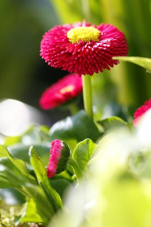 https://imgc.artprintimages.com/img/print/daisies-amarant-daisies-southern-daisy_u-l-q11vrhf0.jpg?p=0