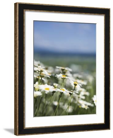 Daisies at Lavender Farm in Furano-Shayne Hill-Framed Photographic Print