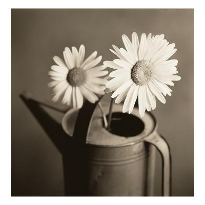 Daisies in Can-TM Photography-Premium Photographic Print
