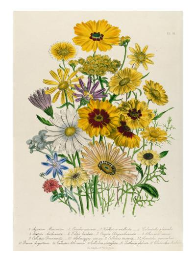 Daisies, Plate 31 from 'The Ladies' Flower Garden', Published 1842-Jane W^ Loudon-Giclee Print