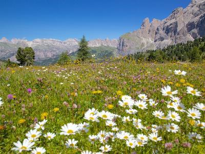 Daisies, Sella Pass, Trento and Bolzano Provinces, Italian Dolomites, Italy, Europe-Frank Fell-Photographic Print