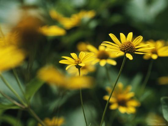 Daisies-Taylor S^ Kennedy-Photographic Print