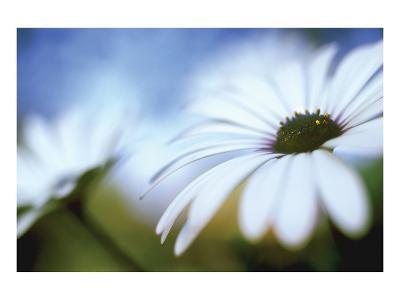 Daisy Blue II-Karin Connolly-Art Print