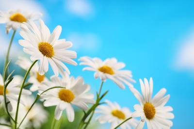 Daisy Flower against Blue Sky-Liang Zhang-Photographic Print
