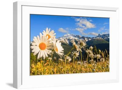 Daisy flower meadows in Stelvio National Park in summer. Sondrio district, Stelvio National Park, L-ClickAlps-Framed Photographic Print