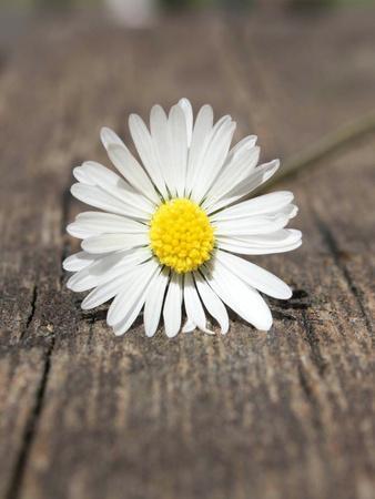 https://imgc.artprintimages.com/img/print/daisy-flower-on-the-floor_u-l-f8qip80.jpg?p=0