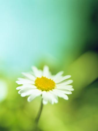 https://imgc.artprintimages.com/img/print/daisy-flower_u-l-pzh3bo0.jpg?p=0