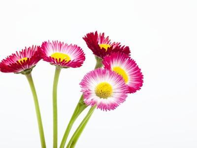 https://imgc.artprintimages.com/img/print/daisy-flowers_u-l-pzl7hl0.jpg?p=0