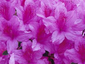 Azalea Rhododendron by Daisy Gilardini