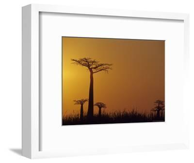 Baobab Avenue at Sunset, Madagascar