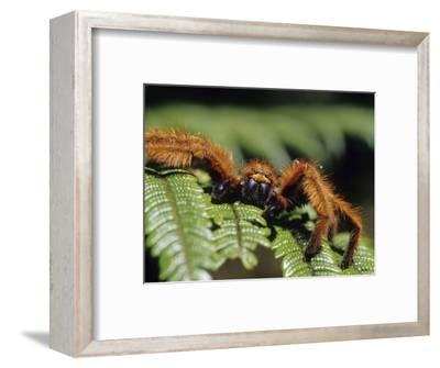 Close-up of Tarantula on Fern, Madagascar
