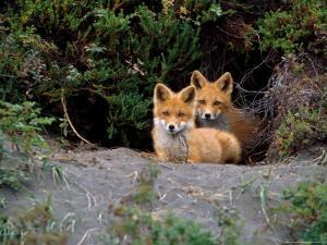 Den of Red Foxes, Kamchatka, Russia by Daisy Gilardini