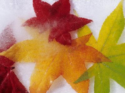 Frozen Maple Tree Leaves