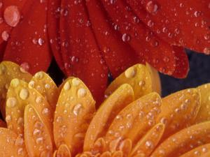 Gerbera with Water Drops by Daisy Gilardini