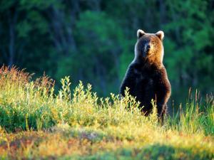 Grizzly of Kronotska National Park, Kamchatka, Russia by Daisy Gilardini