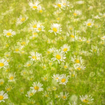 https://imgc.artprintimages.com/img/print/daisy-meadow_u-l-pr5wyx0.jpg?p=0