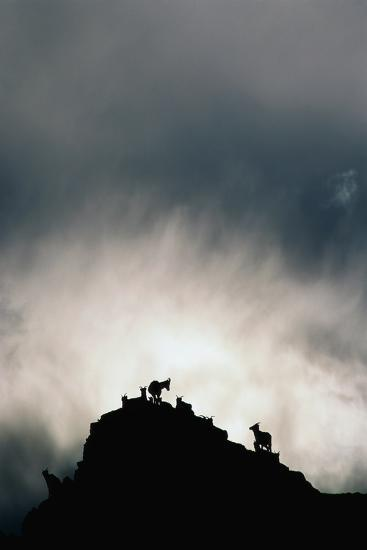 Dall's Sheep on Cliff at Sunset-Paul Souders-Photographic Print