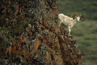 Dall Sheep Ram Perched on Rock Ledge Denali Np in Ak Summer-Design Pics Inc-Photographic Print