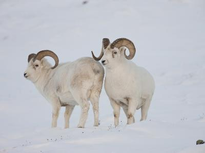 Dall Sheep Rams, Arctic National Wildlife Refuge, Alaska, USA-Hugh Rose-Photographic Print