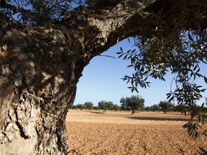 Olive Groves, Gabes, Tunisia, North Africa, Africa by Dallas & John Heaton