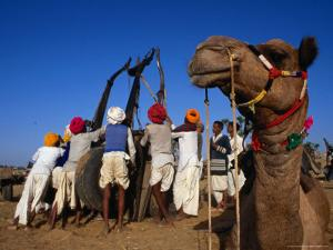 Camel and Men Working on Camel Cart, Pushkar, Rajasthan, India by Dallas Stribley