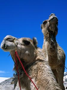 Camels for Hire at Stockton Sand Dunes, Newcastle, New South Wales, Australia by Dallas Stribley