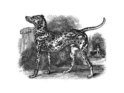 Dalmatian Dog, 1848--Giclee Print